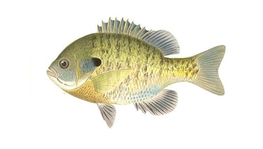 Panfish / Bluegill